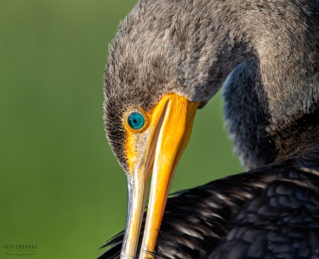Cormorant Photo by Scott Bourne