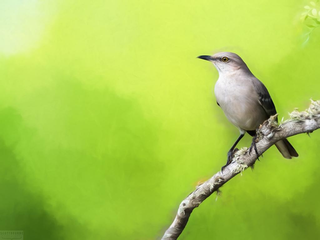Northern mockingbird photo by Scott Bourne