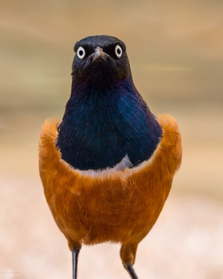 Superb Starling Photo by Scott Bourne