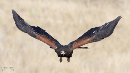 Harris's Hawk Photo by Scott Bourne
