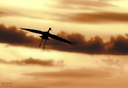 Sandhill Crane In Flight Photo by Scott Bourne
