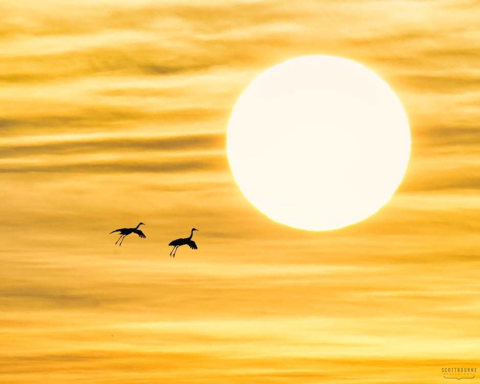 Sandhill cranes in the sun photo by Scott Bourne