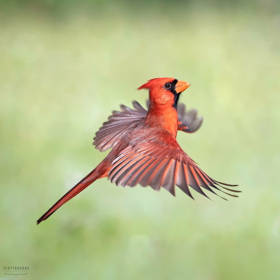 Northern Cardinal Photo by Scott Bourne
