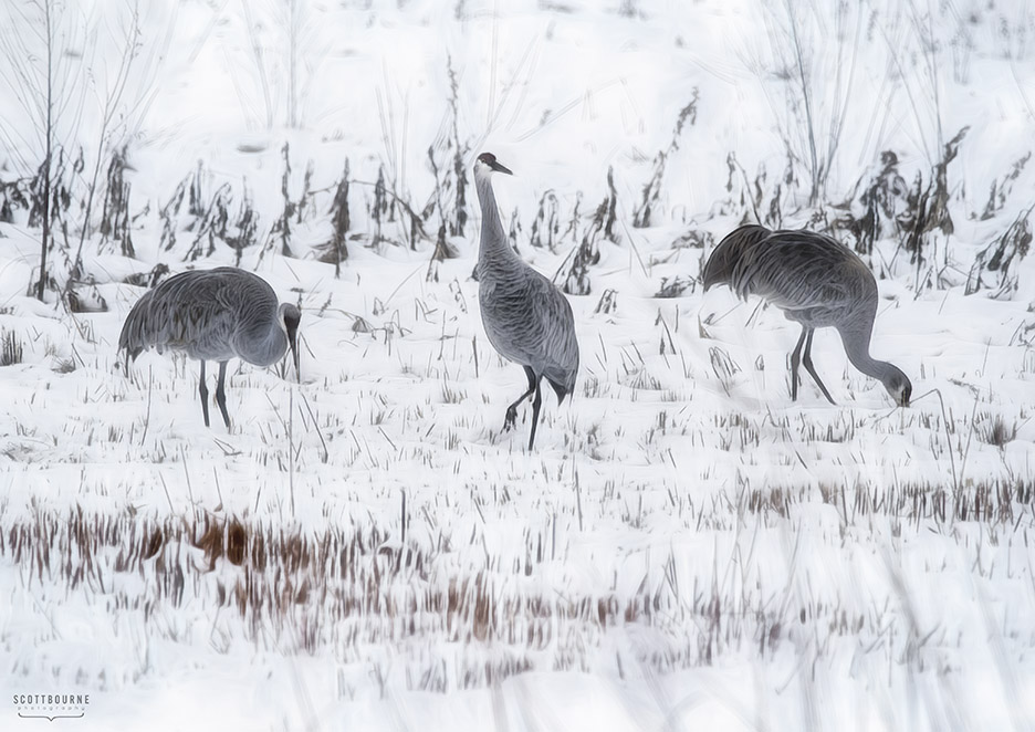 Sandhill crane photo by Scott Bourne