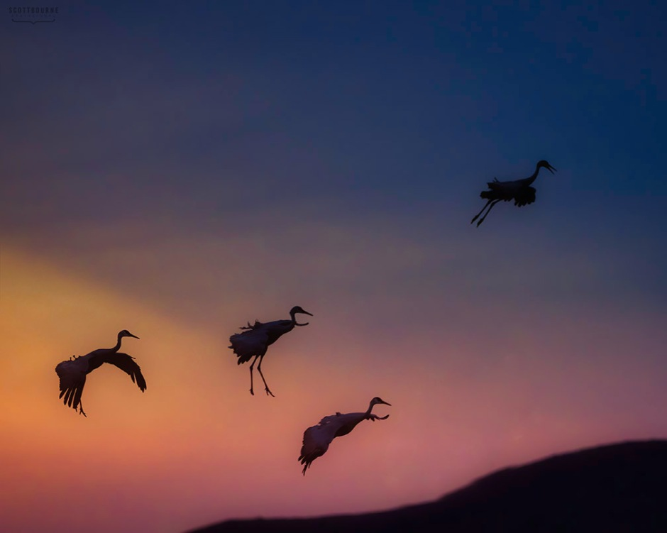 Sandhill Cranes at Sunset at Bosque del Apache Photo by Scott Bourne