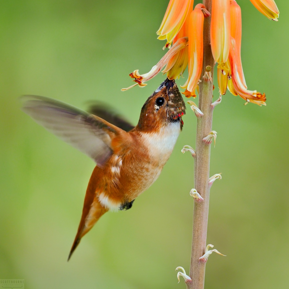 Hummingbird Photo by Scott Bourne
