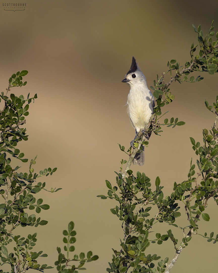 Black-crested titmouse Photo by Scott Bourne