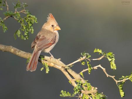 Cardinal Photo by Scott Bourne
