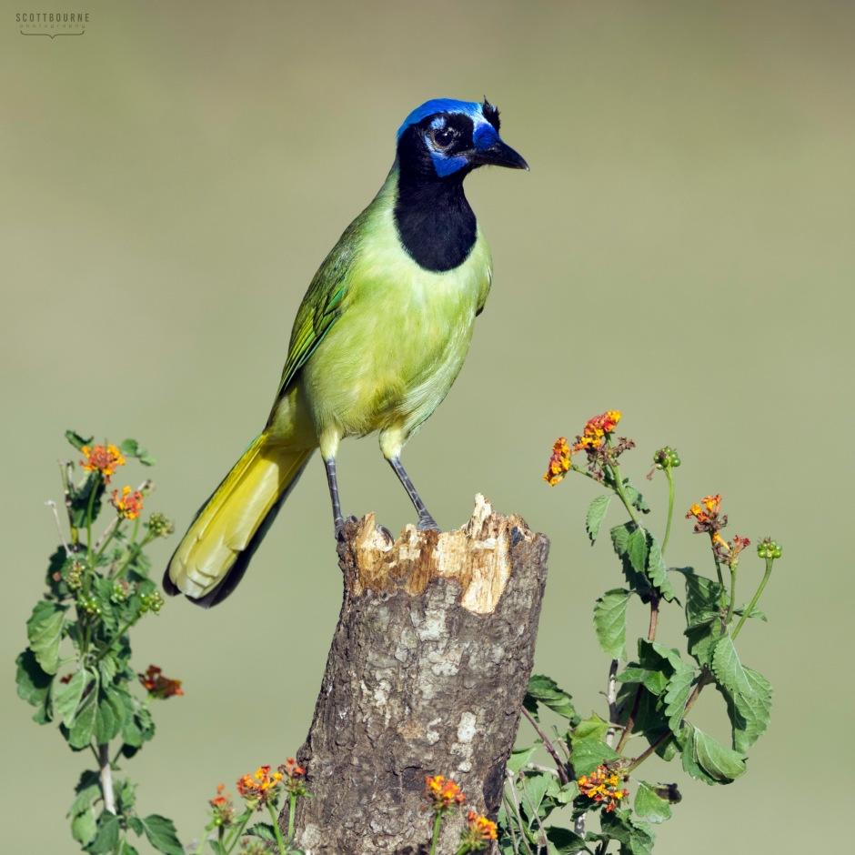 Green Jay photo by Scott Bourne