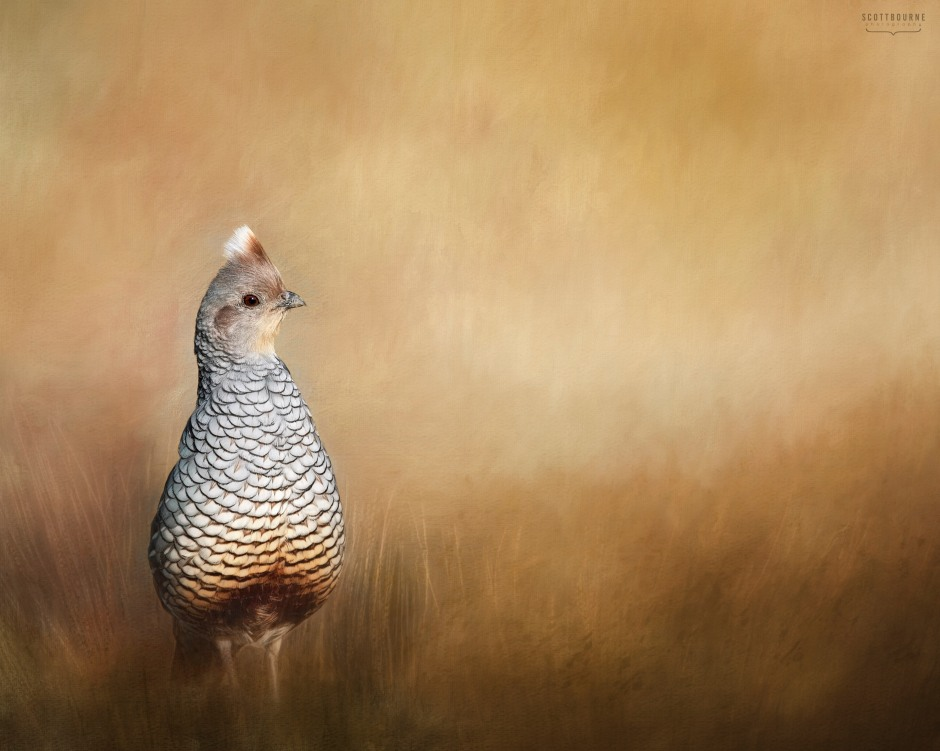 Scaled Quail Image by Scott Bourne