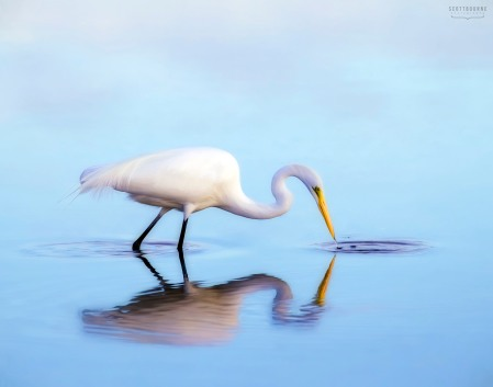 Egret Photo by Scott Bourne