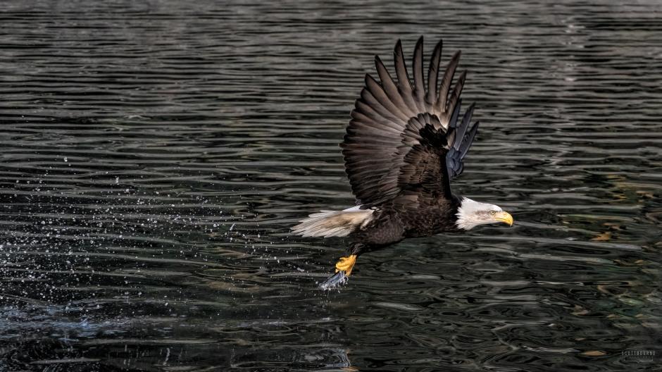 Bald Eagle Photo by Scott Bourne