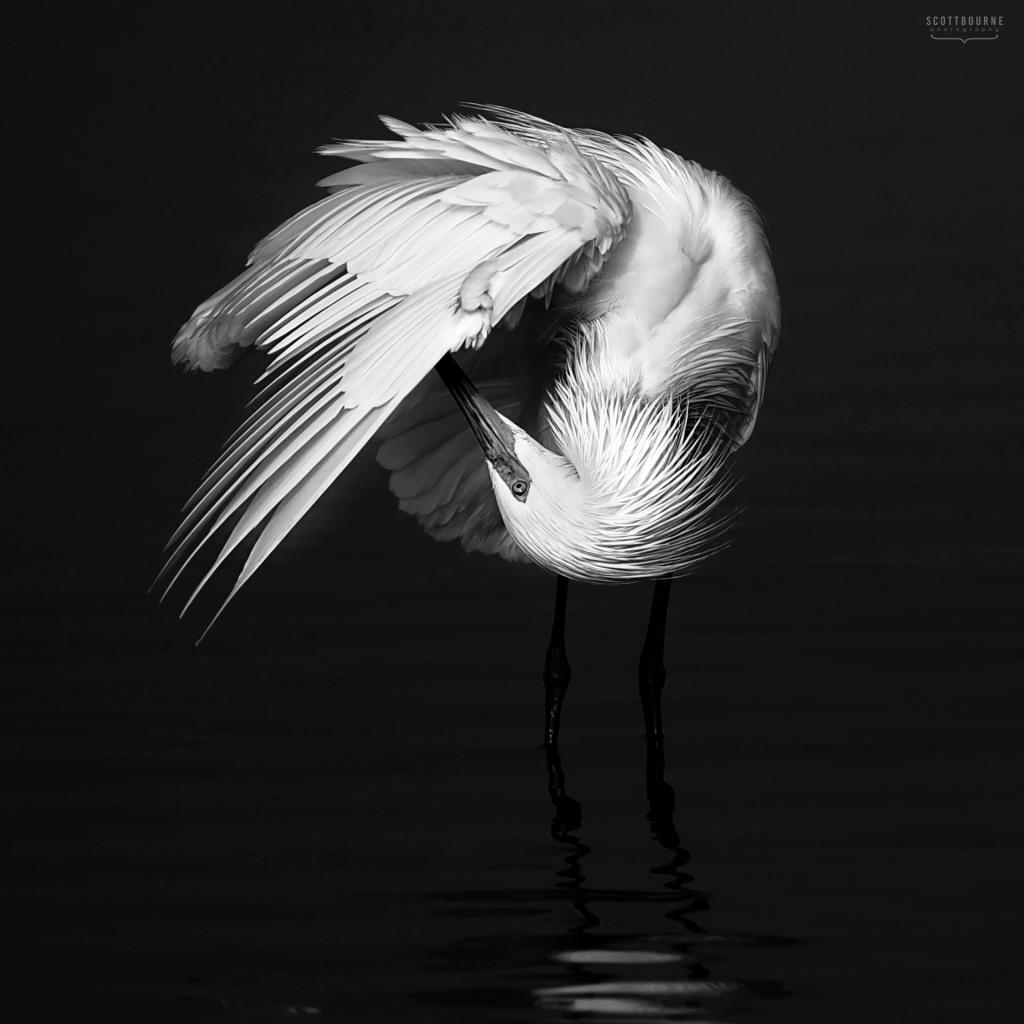 Egret Photo by Scott Bourne