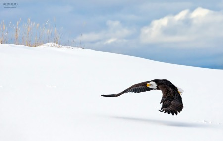 Eagle Photo by Scott Bourne