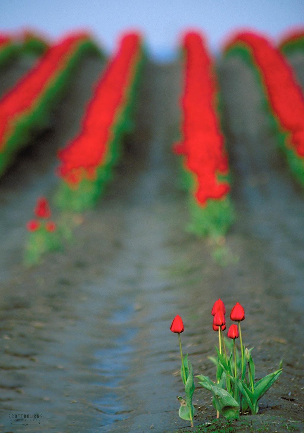 Tulip Photo by Scott Bourne