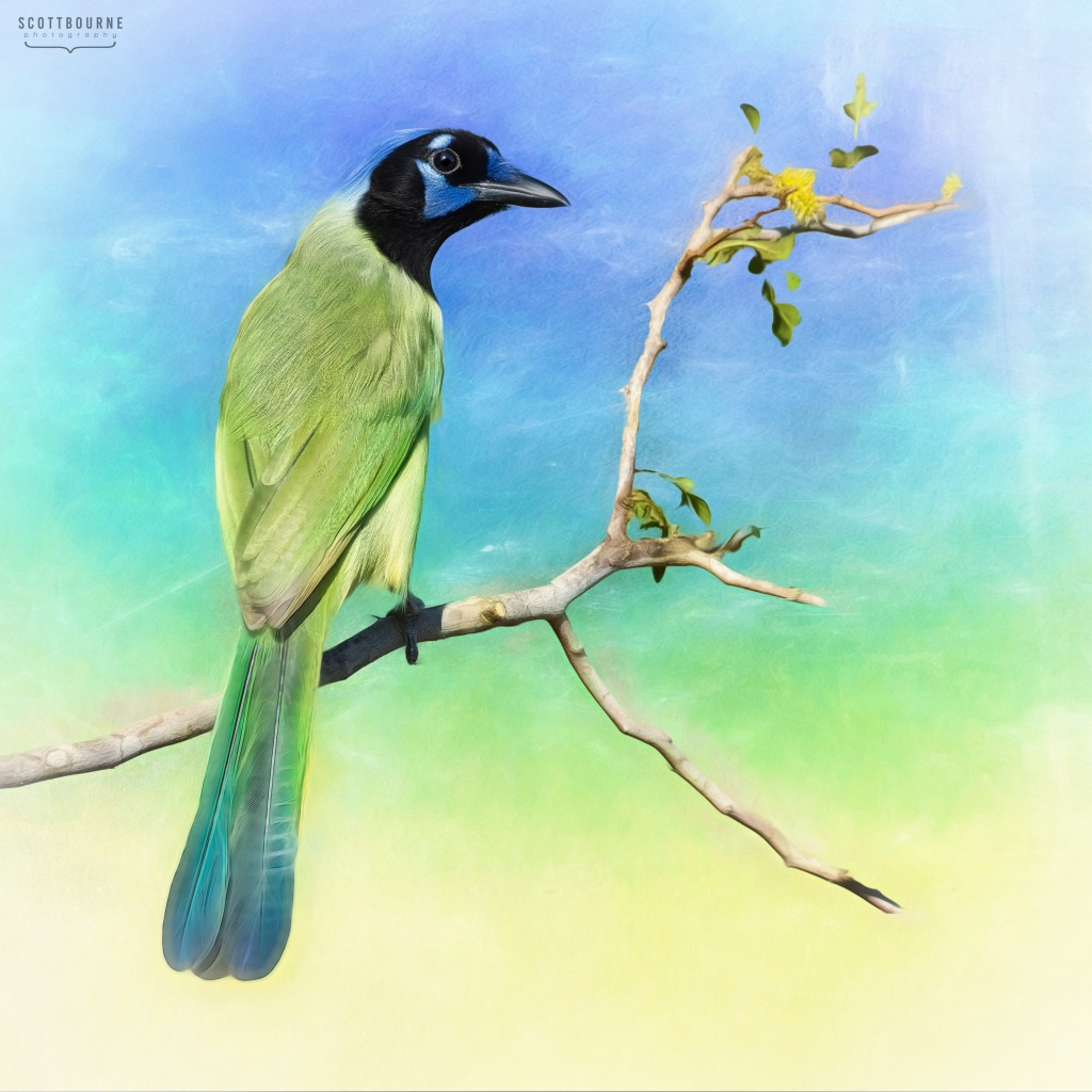 Green Jay Image by Scott Bourne