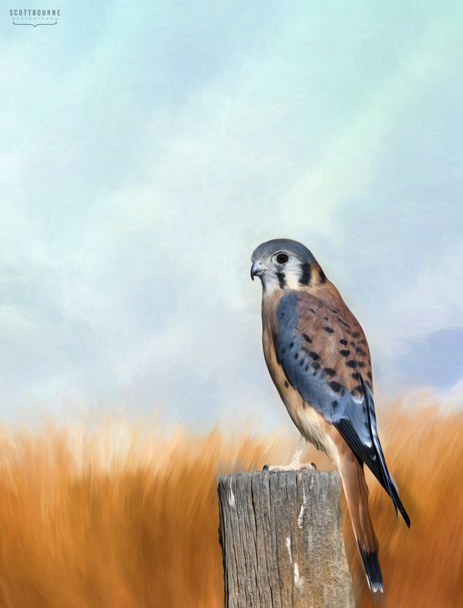 Kestrel photo by Scott Bourne